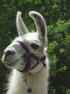 Free Mama Alpaca Stock Images - 9911164