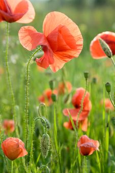 Free Poppy Flowers Royalty Free Stock Photography - 9912147