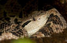 Free Diamond Back Rattlesnake Hiding In A Tree Royalty Free Stock Photos - 9912218