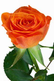 Free Fresh Rose Royalty Free Stock Image - 9913686