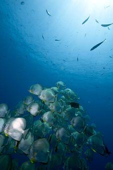 Free Ocean, Sun And Orbicular Spadefish Stock Photo - 9913780