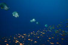 Free Ocean, Sun And Orbicular Spadefish Stock Photography - 9913782