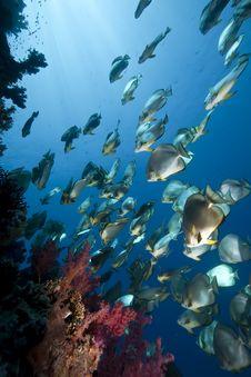Free Ocean, Sun And Orbicular Spadefish Royalty Free Stock Photo - 9913795