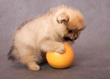 Free Puppy Of The Spitz-dog With Grapefruit Stock Photo - 9914010