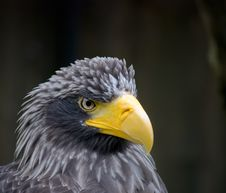 Close Up Of A Eagle Royalty Free Stock Photography