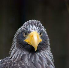 Free Close Up Of A Eagle Royalty Free Stock Photos - 9914118