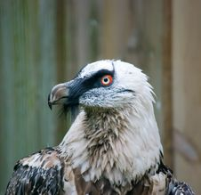 Free Close Up Of A Eagle Royalty Free Stock Image - 9914126