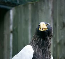 Free Head Of A  Eagle Royalty Free Stock Image - 9914226