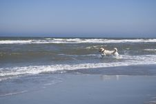 Free Labrador (dog) Running Into The Ocean Royalty Free Stock Image - 9914786