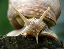 Garden Snail Stock Photos