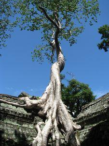 Ta Prohm Tree Royalty Free Stock Photos