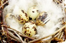 Free Quail Eggs In Nest Royalty Free Stock Image - 9918976