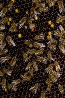 Free Bees Stock Photos - 9919383