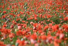 Free Poppy Bloom Royalty Free Stock Photos - 9919658