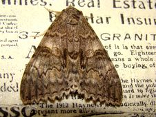 Free Gray Night Moth Flew Into The House Royalty Free Stock Photography - 99146677