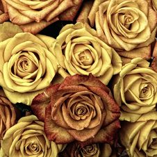 Free Flower, Yellow, Rose, Rose Family Royalty Free Stock Photo - 99191255
