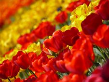 Free Flower, Flowering Plant, Yellow, Tulip Stock Images - 99196884