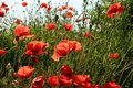 Free Red Poppy In Green Field Royalty Free Stock Photography - 9923897