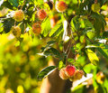 Free Rambutans Royalty Free Stock Images - 9925289