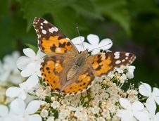 Butterfly And White Flower Royalty Free Stock Image