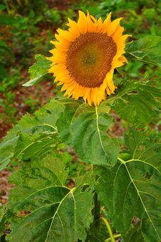 Free Sunflower Stock Photo - 9924370