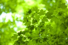 Free Green Maple Leaves Royalty Free Stock Photos - 9924918