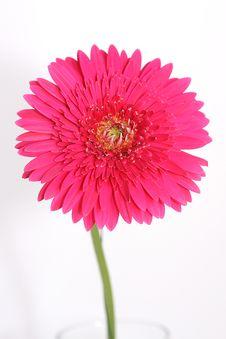 Free Pink Gerber Royalty Free Stock Photos - 9925068