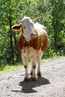 Free Cow Standing On Path Stock Images - 9925574