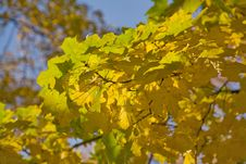 Free Green And Gold Maple Branches Royalty Free Stock Images - 9925679
