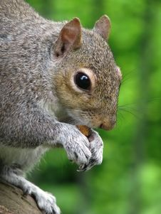 Free Squirrel Royalty Free Stock Images - 9926259