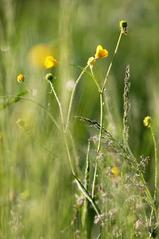 Free Buttercup In The Field. Stock Image - 9926641