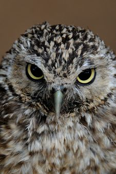 Free Little Owl Royalty Free Stock Photography - 9927727