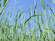 Free Rye Stalks On Clear Blue Sky Royalty Free Stock Photos - 9928688