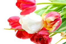 Free Colored Tulips Isolated Over White Stock Photo - 9929680
