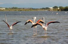 Free Flamingos Taking Off Stock Photography - 9929712