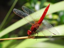 Free Dragonfly, Insect, Dragonflies And Damseflies, Damselfly Stock Photos - 99203073