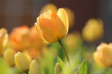 Free Flower, Yellow, Flowering Plant, Plant Royalty Free Stock Photo - 99206805