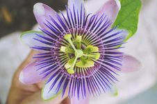 Free Flower, Passion Flower, Passion Flower Family, Purple Passionflower Royalty Free Stock Photo - 99207065