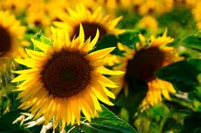 Free Sunflower, Flower, Yellow, Sunflower Seed Stock Photos - 99217453