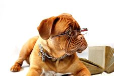 Free Dog, Dog Like Mammal, Dog Breed, Dogue De Bordeaux Stock Photography - 99218322