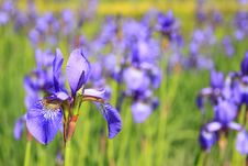 Free Flower, Flowering Plant, Plant, Iris Versicolor Stock Image - 99268231