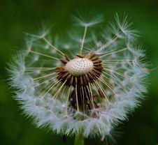 Free Flower, Plant, Dandelion, Flora Stock Photography - 99271042