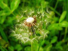 Free Flower, Plant, Dandelion, Vegetation Stock Photography - 99271082