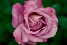 Free Rose, Flower, Rose Family, Pink Stock Photos - 99280623
