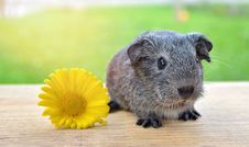 Free Guinea Pig, Mammal, Fauna, Rodent Royalty Free Stock Image - 99281466