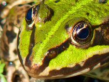 Free Ranidae, Amphibian, Frog, Toad Stock Photography - 99281642