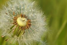 Free Flower, Dandelion, Vegetation, Flora Royalty Free Stock Photo - 99284485