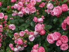 Free Flower, Rose, Rose Family, Garden Roses Royalty Free Stock Photo - 99288005