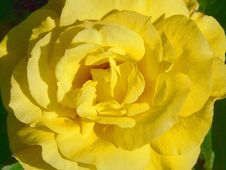 Free Flower, Yellow, Rose Family, Rose Royalty Free Stock Photos - 99288068