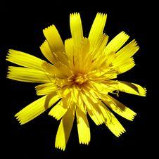 Free Flower, Yellow, Dandelion, Flora Royalty Free Stock Image - 99288726